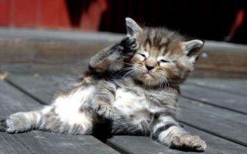 cute kitten salute